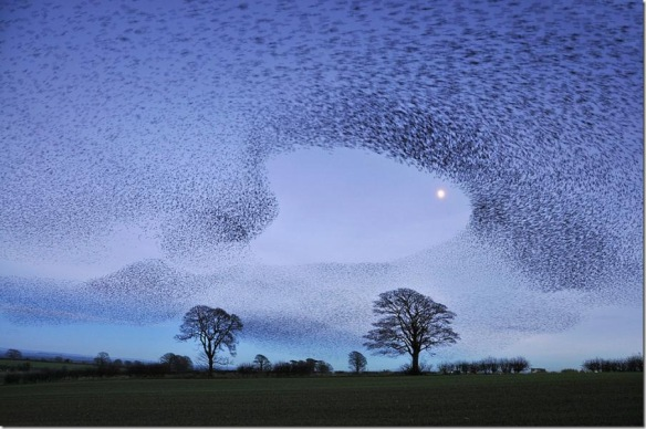 murmuration-of-gretna-green-starlings-post-by-jchip84