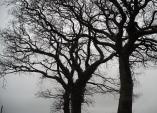 Oaks in Devon