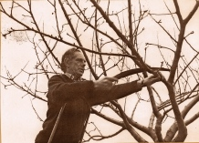 pruning and grafting apple trees