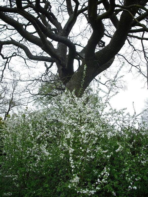 hawthorn & oak