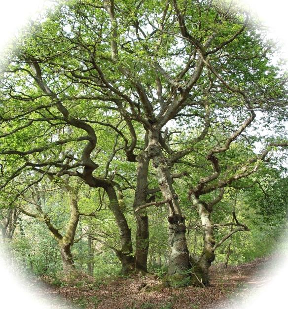 oaks in treasure wood near Broomlands