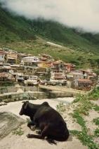 11 badrinath cow