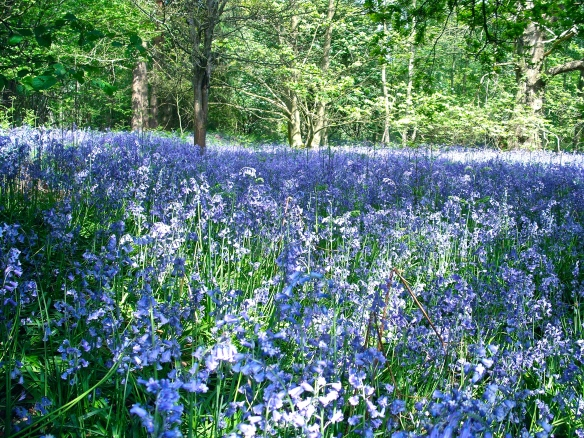 bluebell time at broomlands