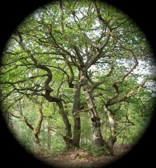 young oak dryads