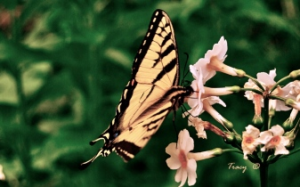 Butterfly-Tiger-Swallowtail
