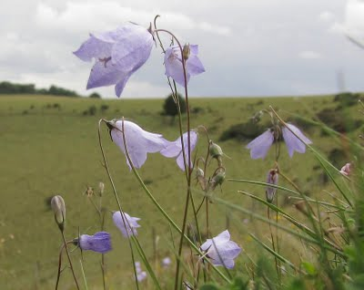 harebells fontmell down by karen woolley