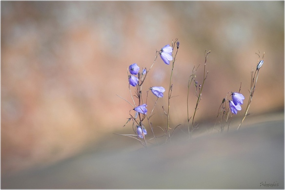 harebells on flikr.com