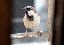 sparrow in window