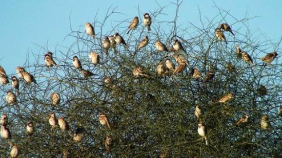 sparrows in bush