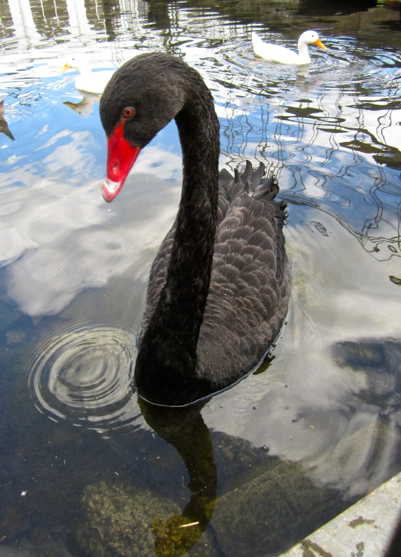 black swan at Little Missenden
