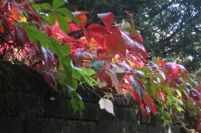 virginia creeper in hampstead