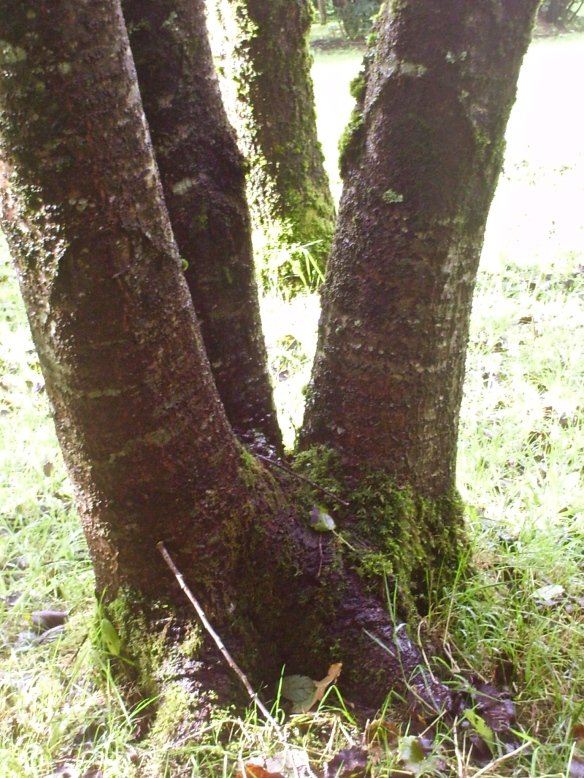 A tree in Devon - Malkuth, showing three paths from the base