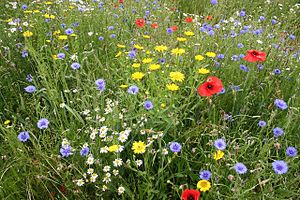 300px-Wildflowers_-_geograph.org.uk_-_473362