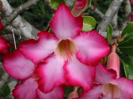 desert rose from http://thoughtfulrandomness.wordpress.com