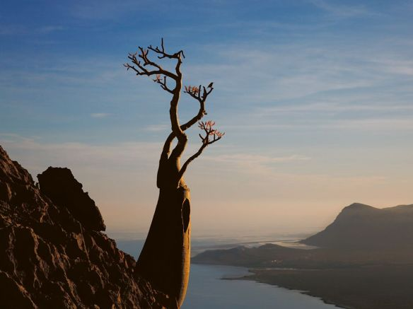 desert rose socotra/moffett/nationalgeographic.com