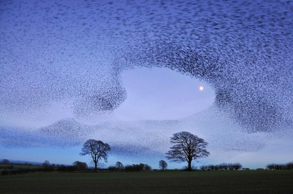 murmuration of starlings, gretna green