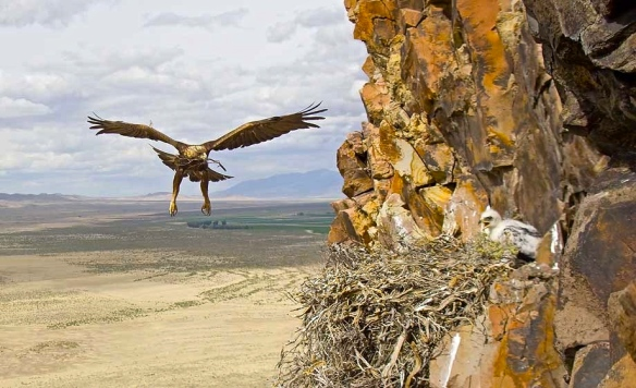 female golden eagle returns to nest.  www.nickdunlop.com