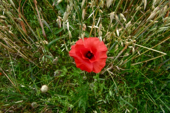 poppy and wild oat