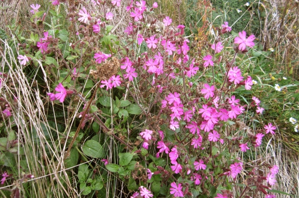 red coastal campion