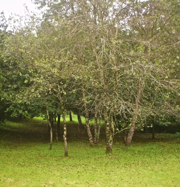 Trees planted by Peter, near Shebbear