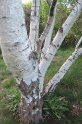 33 silver birch