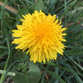 dandelion by ian
