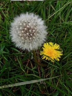 dandelion by peter r