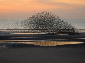 starlings-dmore10